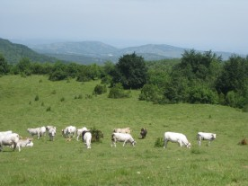 The gently clanking bells on the Gascon cattle joined the birdsong as our accompaniment