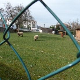 Sheep may safely graze outside the council flats.