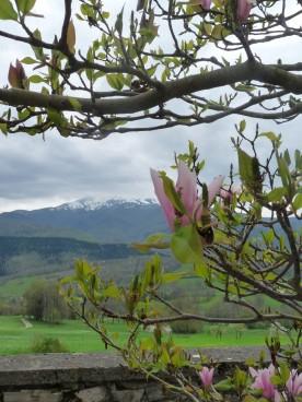 Magnolia in the village square at Soula.