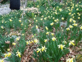First sight of the daffodils