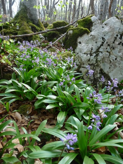 Now bluebells: Spanish variety, not our beloved English