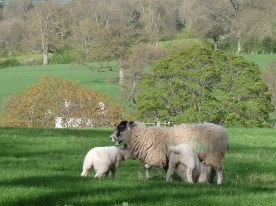 Twin lambs with mum