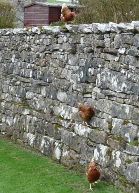 Hens climb the wall at Shap Abbey