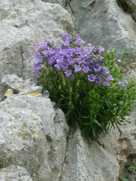 I was practising with my zoom: this was yards above us - a type of campanula?