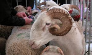 This is the kind of sheep we'd have had at Laroque Fête: our local Tarascon sheep. Photo courtesy of La Dépêche du Midi.