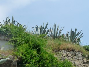 Aloe vera near the city walls.
