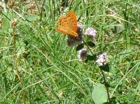 Fritillary on the move