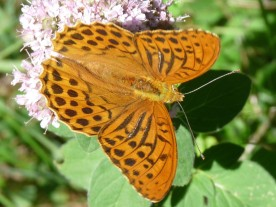 High brown fritillary - Argynnis adippe: maybe