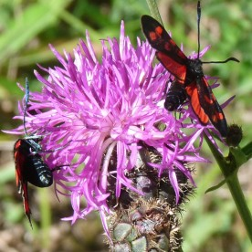 Not a butterfly at all: a Six-spot Burnet, Zygaena filipendulae, a day-flying moth