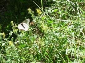 Green-veined white - Artogeia napi? I don't really think so