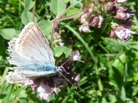 Chalk-hill blue - Lysandra coridon. Or is it?
