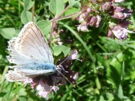 Chalk-hill blue - Lysandra coridon. Or is it?