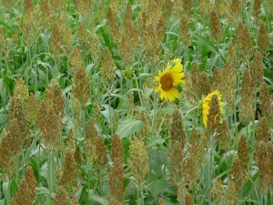 Sunflowers among the sorghum.