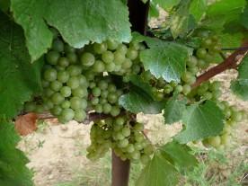 Grren grapes