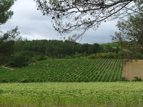 Fields of vines and sunflowers near Villelongue d'Aude