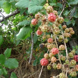 Blackberries in the breeze