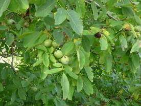 Ripening walnuts