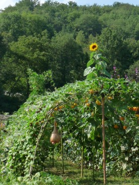 A tunnel of gourds .... topped by a sunflower.