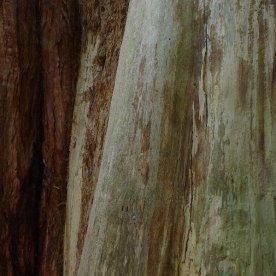 Giant sequoia 'Wellington'