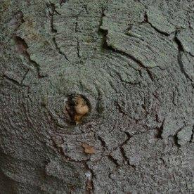Japanese bush spruce