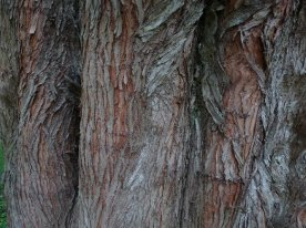 Metasequoia Glytostroboides
