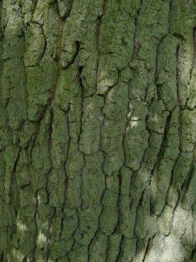 Quercus robor