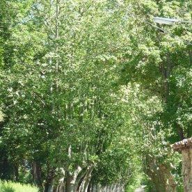 Avenue of plane trees near the Château de Léran