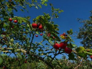 Rosehips along our walk
