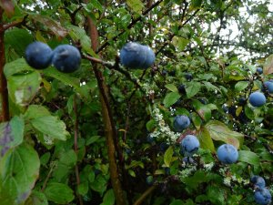 Sloes waiting to be picked