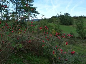 Rosehips with thorns ready for the attack