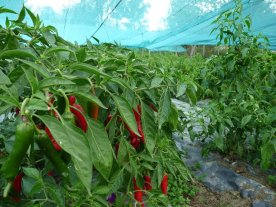 Chillies protected from the sun - and storms