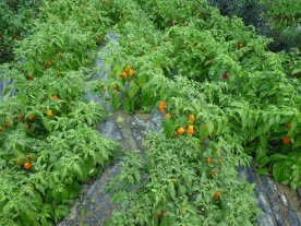 Hundreds and thousands of chillies