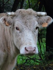 A wet cow: a local cow, a Gascon. They're used to it.