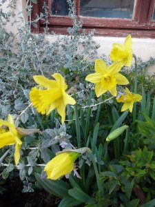 Daffodils in our garden this evening.