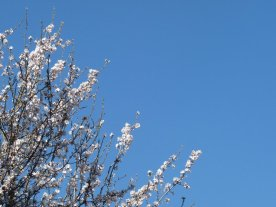 Amond blossom against a midday sky