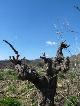 Old, gnarled, bowl-shaped vine.