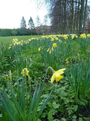 Daffodils at College Lawns, Ripon.