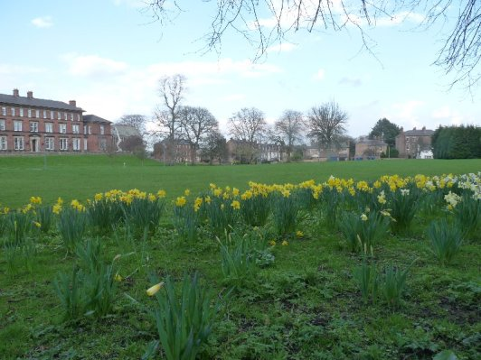 Daffodils at College Lawns, Ripon