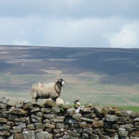 Swaledale sheep: the image of the Yorkshire Dales.