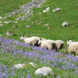 Northumberland sheep accompanied us along this bluebell-strewn path.
