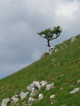 A lonely stunted tree.