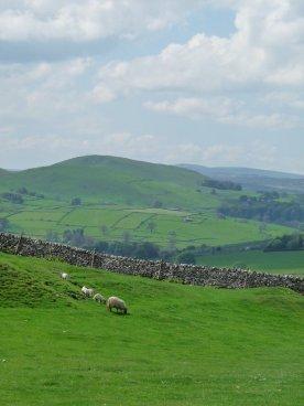 Sheep grazing.
