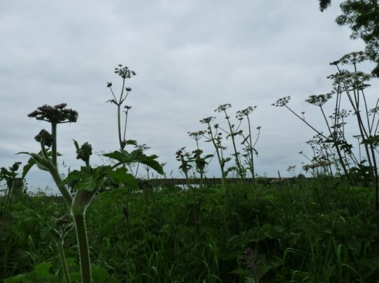 Cow parsley's shooting up.