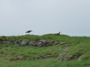Curlews on the skyline