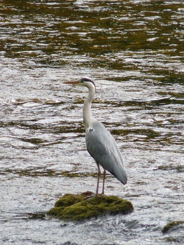 The patient heron