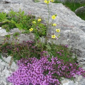 Wild thyme - and a few buttercups - thrive here.