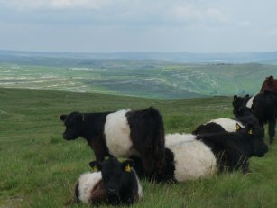 Belted Galloway calves survey the scene.