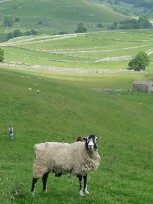 A Swaledale sheep as gate-keeper.