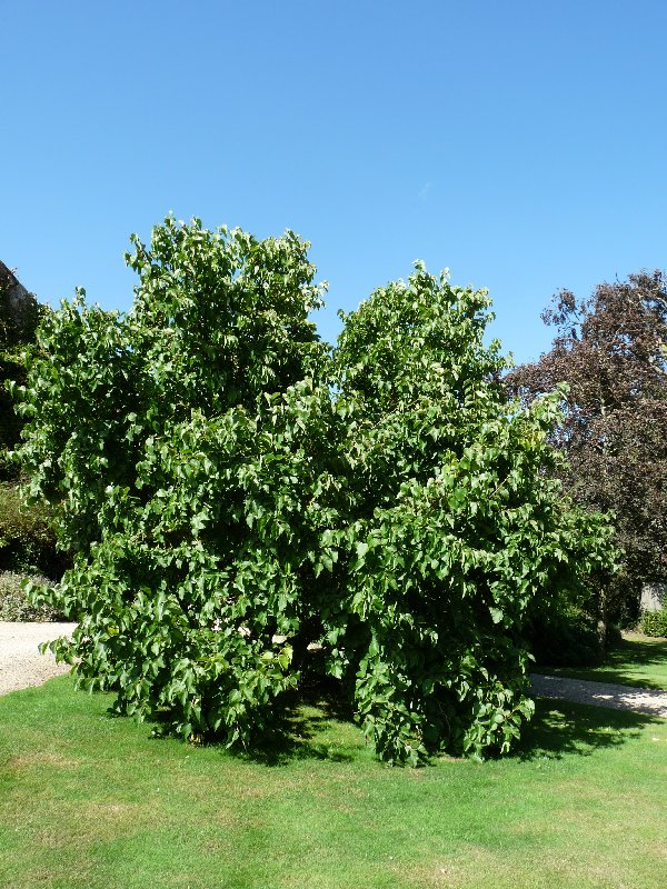 There it is, our magnificent mulberry tree