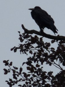 OK, it's not a blackbird, but a crow.  They're thieves too.